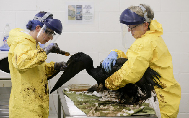 On 5/19/15 a broken pipeline near Santa Barbara, CA spilled crude oil into a storm drain and into the Pacific Ocean.  Here, staff members and volunteers are shown working to clean oil off a brown pelican, on 5/22/15, at the International Bird Rescue office in the San Pedro area of Los Angeles. (AP)