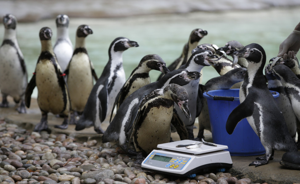 With the promise of a nice lunch of anchovies, Humboldt Penguins are led to the weighing scales at London Zoo on 8/26/15.  The Zoo held its annual weigh-in where the vital statistics of animals were taken in an aid for keepers to detect pregnancies and check the animal's general wellbeing. (AP)