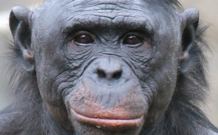 Bonobo (Psych USD via Creative Commons)