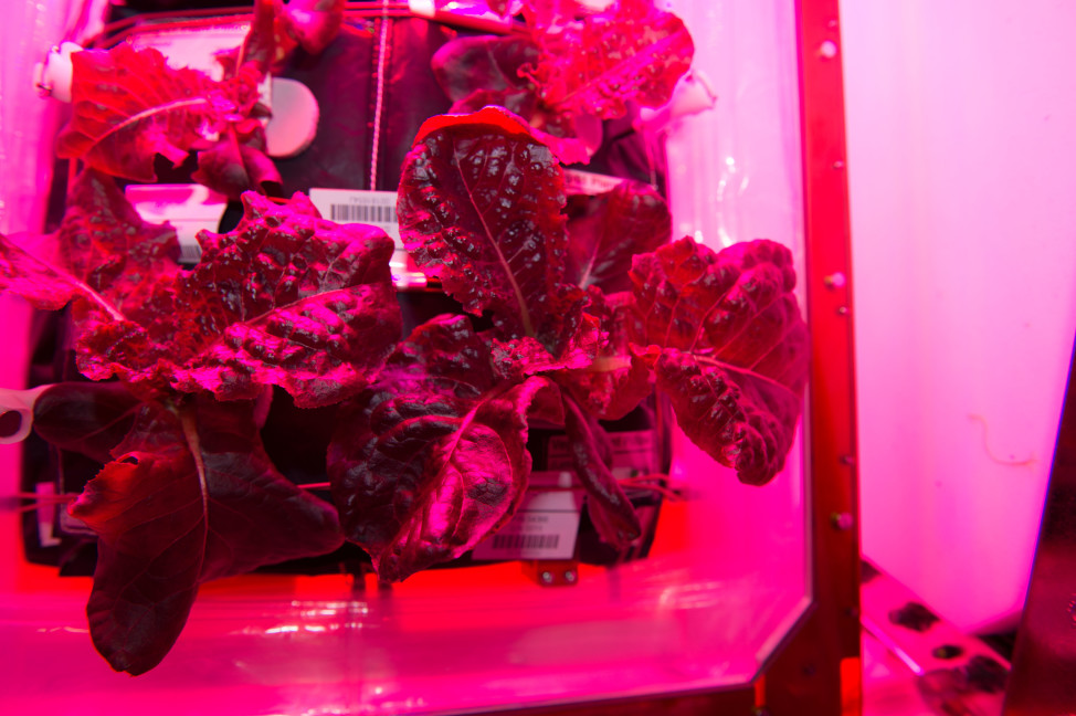 "Mmmmm space lettuce! Expedition 44 crewmembers aboard the International Space Station sampled their harvest of a crop of ""Outredgeous"" red romaine lettuce on 8/10/15.  The lettuce was grown with the ISS' veggie plant growth system that tests hardware for growing vegetables and other plants in space. (NASA)"