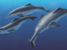 Artistic reconstruction of Isthminia panamensis, a new fossil dolphin from Panama, feeding on a flatfish. (Julia Molnar/Smithsonian Institution)