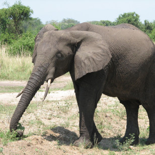 African elephant (sarahemcc/Creative Commons)