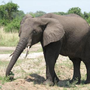 African elephant (sarahemcc/Creative Commons)