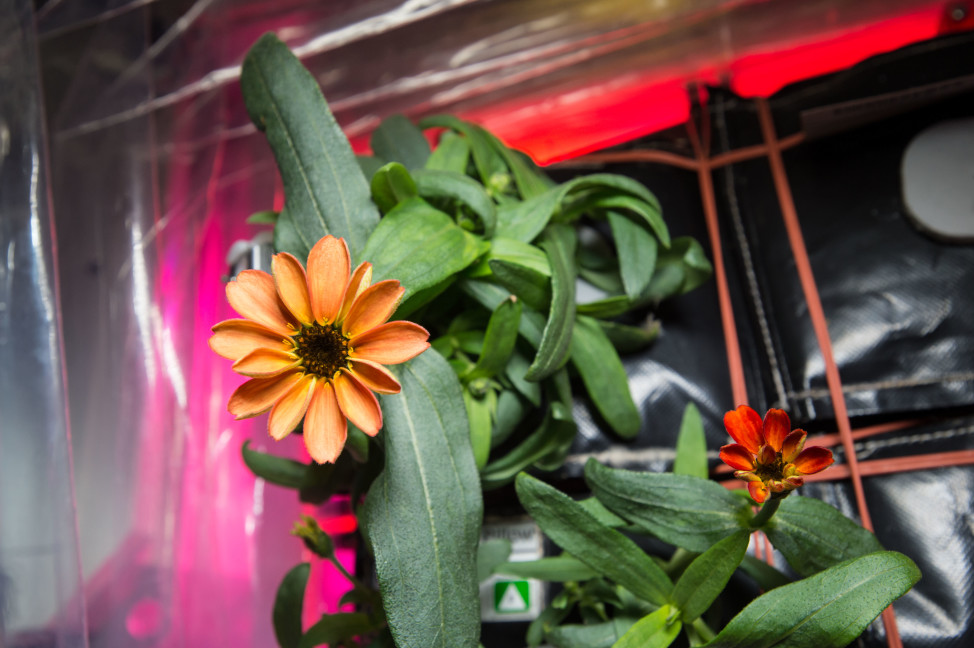 On 1/16/16 NASA astronaut Scott Kelly posted this image of an orange zinnia flower he grew in the International Space Station's Veggie plant growth system. Kelly has been aboard the ISS since March, 2015 and is scheduled to return to Earth in two months. (NASA)
