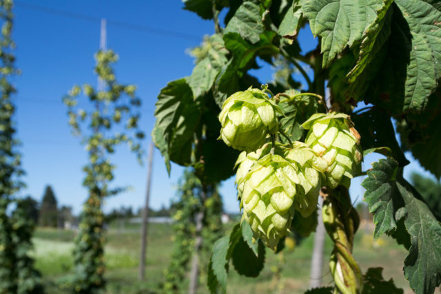 Hops on the Vine in Oregon (Visitor7 via Wikimedia Commons)