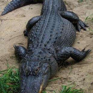 American Aligator (Postdlf via Wikimedia Commons)