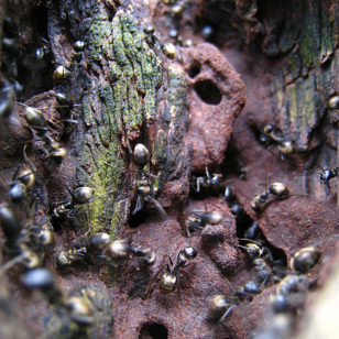 Ants work outside of their colony (Schristia, Creative Commons via Flickr)