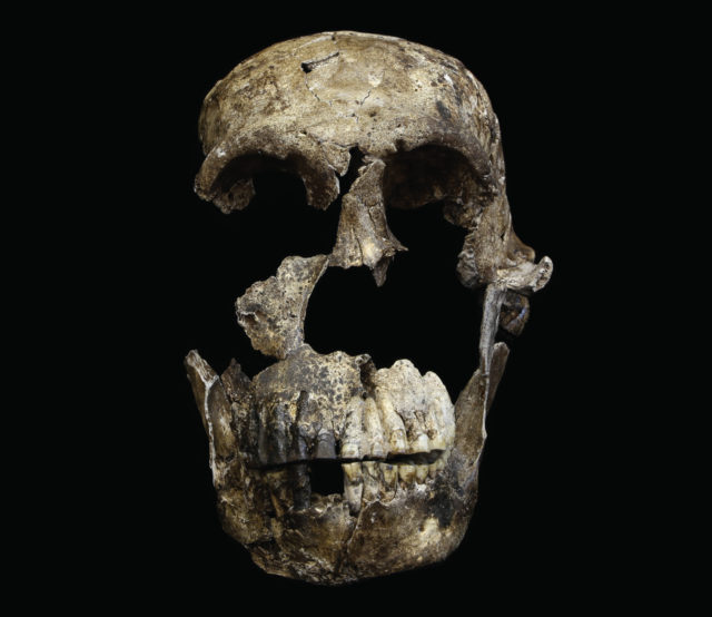 """Neo"" skull of Homo naledi from the Lesedi Chamber of the Rising Star cave system in South Africa. The skull has been painstakingly reconstructed, providing a much more complete portrait of the early hominin. (John Hawks CC-BY)"