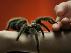 Making a friend with a Tarantula. (GollyGForce via Flickr/Creative Commons)