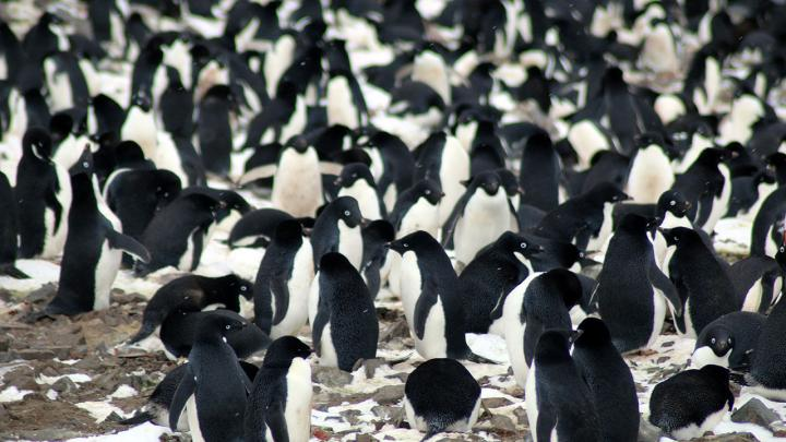 The researchers found that the Danger Islands have 751,527 pairs of Adélie penguins--more than the rest of the entire Antarctic Peninsula region combined. (Michael Polito, ©Louisiana State University)