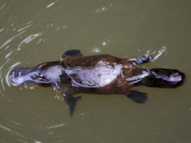 Platypus, at Eungella National Park, Queensland, Australia (Christine Ferdinand, Creative Commons 4.0 via Wikimedia)
