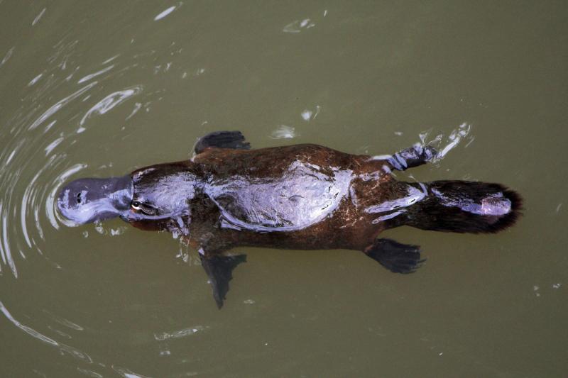 Platypus, at Eungella National Park, Queensland, Australia (Christine Ferdinand, Creative Commons 4.0 via Wikimedia)