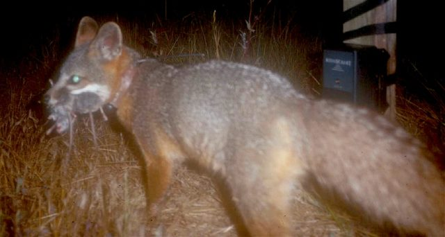 An island fox hunts at night (National Park Service/Wikimedia Commons)