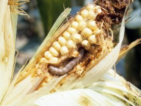 Fall armyworm larvae have caused an estimated $2.5 billion to $6.2 billion in damage annually to maize in sub-Saharan Africa since the pest arrived there in 2016. (John C. French Sr., Retired, Universities:Auburn, GA, Clemson and U of MO, Bugwood.org)