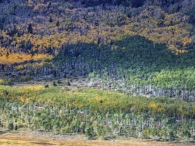 The Pando aspen clone as seen from a distance (green foreground and middle -- not yellow). The photo captures about ½ the total grove. A close look reveals many dead trees on the ground. Foreground depicts successful regeneration; middle green shows dying forest with little new growth. (Lance Oditt, Studio 47.60° North - with permission)