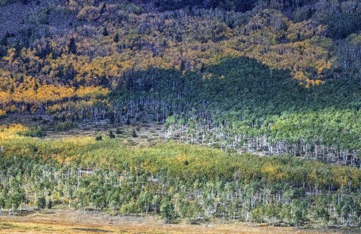Pando, Earths largest living organism, is in danger of disappearing