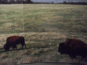 The picture of buffalo in the National Museum of the American Indian