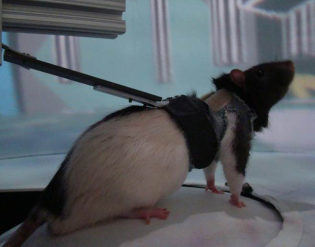 A courtesy picture shows UCLA's rat in the virtual reality environment. (UCLA's W. M. Keck Center for Neurophysics)