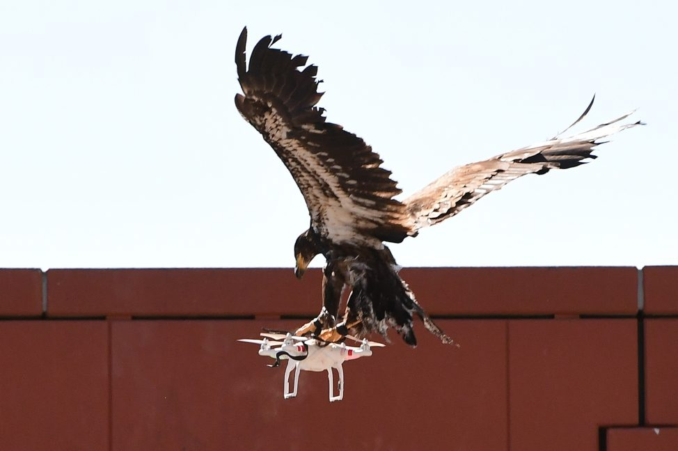 A young eagle trained to catch drones displays its skills during a demonstration organized by the Dutch police as part of a program to train birds of prey to catch drones flying over sensitive or restricted areas, at the Dutch Police Academy in Ossendrecht, The Netherlands, on Sept. 12, 2016. (AFP)