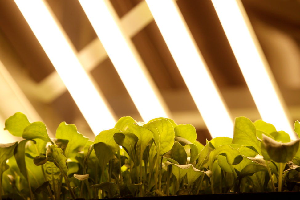 Baby arugula grows in a vertical farming bed beneath light emitting diode (or LED) lamps and using a patented growing algorithm of controlled light, nutrients and temperatures for growing baby greens at an AeroFarms Inc. indoor vertical farming facility in Newark, New Jersey, June 24, 2016. (Reuters)