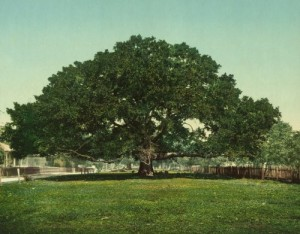 If oak trees contribute negatively to global climate change, watch out for this one!  Of course, this photo, made into a postcard, was taken in 1901 in Pass Christian, Mississippi.  So it may have gone to that great lumber pile in the sky. (Library of Congress)