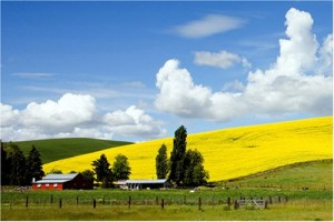 We came across this beautiful rapeseed field and farmstead in Idaho. (Carol M. Highsmith