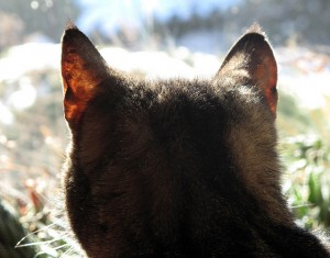 As any cat owner knows, a cat is the center of the universe.  So it needs lots of ear muscles to enable to ears to signal how it is feeling about thing.  You don't want to see a cat twitch its ears or lay them low against the head.  (zircon3035, Flickr Creative Commons)