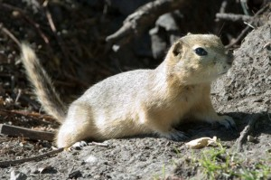 "The flickertail, or gopher, is a cousin of the prairie dog.  But while the latter are highly social animals that build whole ""prairie dog villages"" on the plains, flickertails are more private and, perhaps, discerning. (Cszmurlo, Wikipedia Commons)"