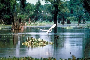The Atachafalaya Basin is America's largest swamp. It's not long after you leave Louisiana's capital, Baton Rouge, heading west, that you're on a long, long causeway that skims just above these immense wetlands. (Army Corps of Engineers)