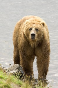 "Bear to human: ""What you lookin' at, bud?"" That's your cue to roll over and play dead. (U.S. Fish and Wildlife Service)"