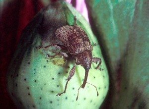 Look at that sucker!  The boll weevil would make a formidable foe, all right.  Tiny but tenacious.  (U.S. Dept. of Agriculture)