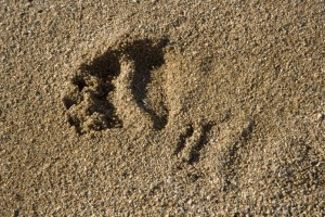 If you see a few of these in a row, head in the opposite direction.  It's a grizzly bear track.  (U.S. Fish and Wildlife Service)