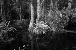 A southern swamp that Carol captured in infrared, which turns natural green objects white.  (Carol M. Highsmith)
