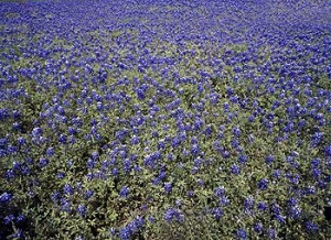 Bluebonnets all by their lonesome, as a Texan might say.  (Carol M. Highsmith)