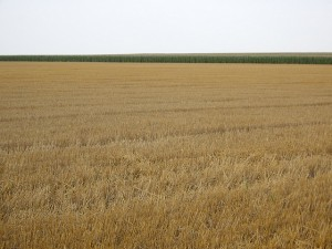 This is Kansas, and this is wheat.  But is it the West?  (C. K. Hartman, Flickr Creative Commons)