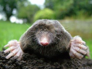 Let's see, you use moles for warts.  And warts for moles?  (Michael David Hill, Wikipedia Commons)