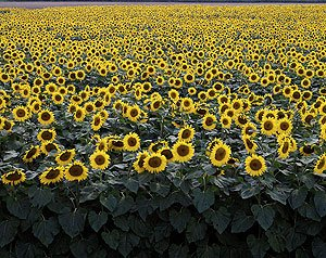 "There's a reason Kansas touts itself as ""The Sunflower State.""  (Carol M. Highsmith)"