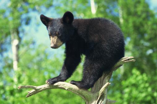 İşte uzaktan sevimli yakından tehlikeli Ursus Americanus :) (Photos.com)