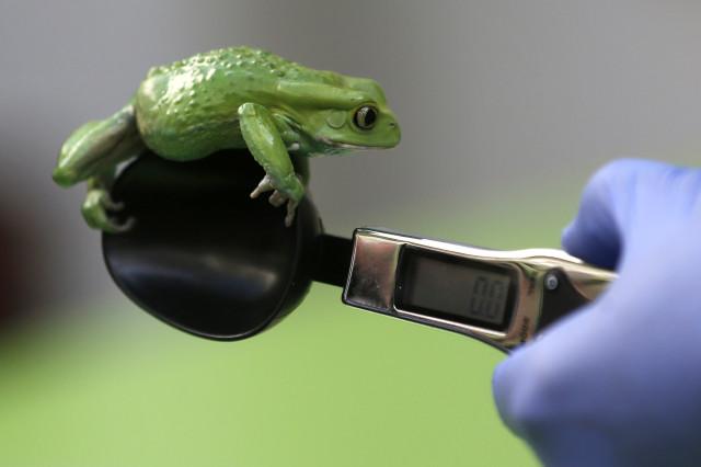 Londra Hayvanat Bahçesi'nde bir kurbağanın ağırlığı ölçülüyor